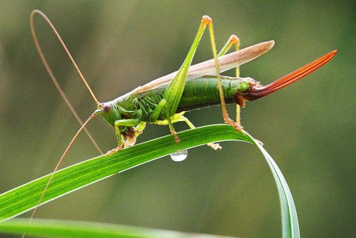 Conehead bush-cricket laying eggs