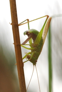Conehead bush-cricket laying eggs-1