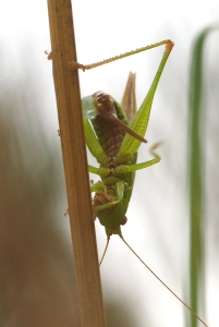 Conehead bush-cricket laying eggs-2