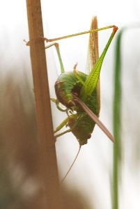 Conehead bush-cricket laying eggs-3
