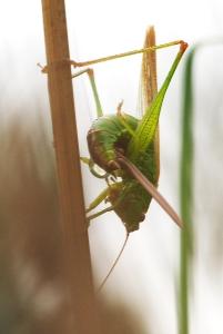 Conehead bush-cricket laying eggs-3
