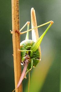 Conehead bush-cricket laying eggs-5