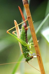 Conehead bush-cricket laying eggs-7