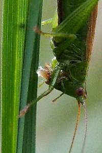 Conehead bush-cricket laying eggs-8
