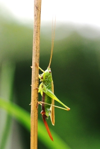 Conehead bush-cricket with egg sac