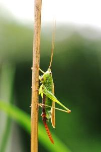 Conehead bush-cricket with egg sac